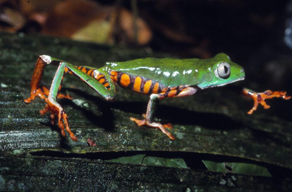 Tigermakifrosch (Phyllomedusa tomopterna)