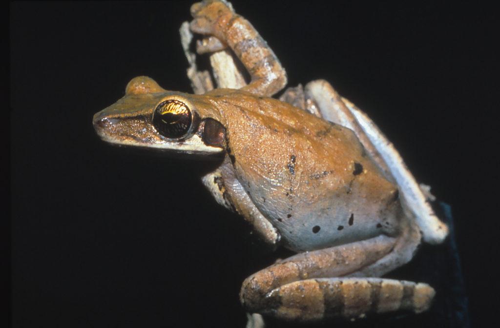 Ein Panzerkopflaubfrosch (Osteocephalus taurinus)