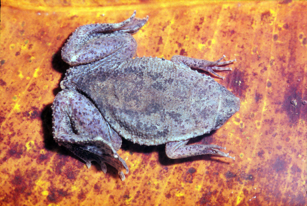 Wabenkröte (Pipa arrabali)